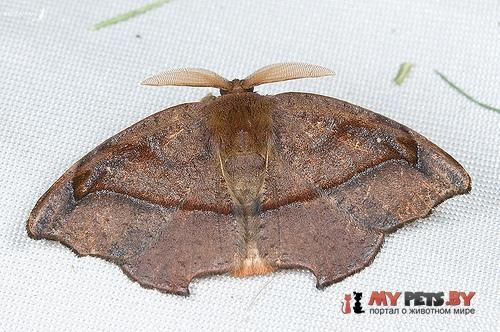 Amphitorna purpureofascia