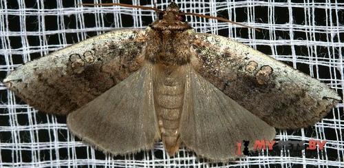 Tethea albicosta