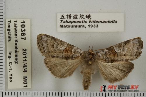 Takapsestis wilemaniella