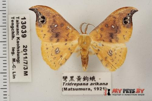 Tridrepana arikana