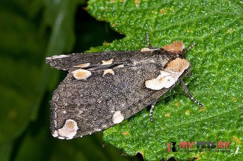 Macrothyatira flavida