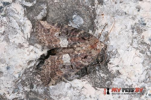 Epipsestis nikkoensis