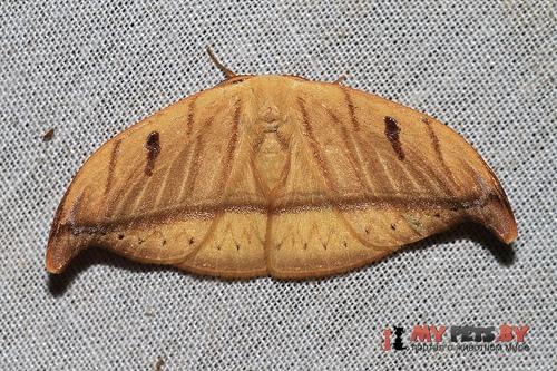 Callidrepana argenteola