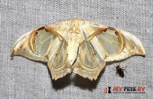 Macrauzata melanapex