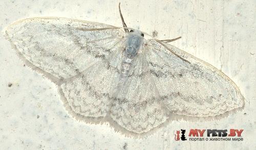 Ditrigona idaeoides