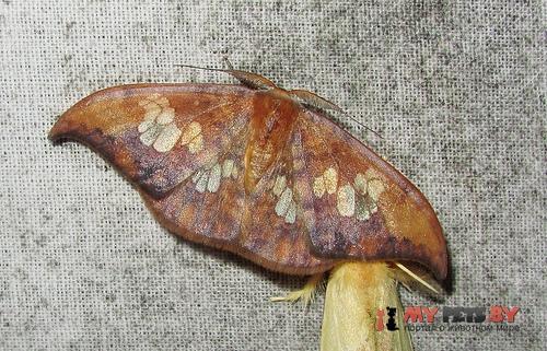 Agnidra specularia