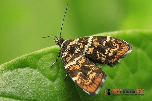Choreutis japonica