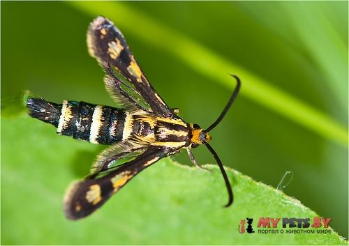 Chamaesphecia bibioniformis
