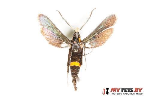 Sannina uroceriformis
