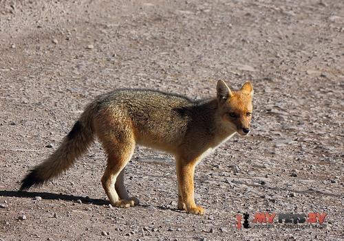 Андская лисица