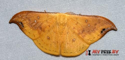 Tridrepana fulvata