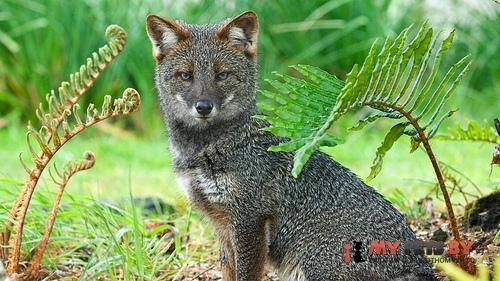 Дарвиновская лисица