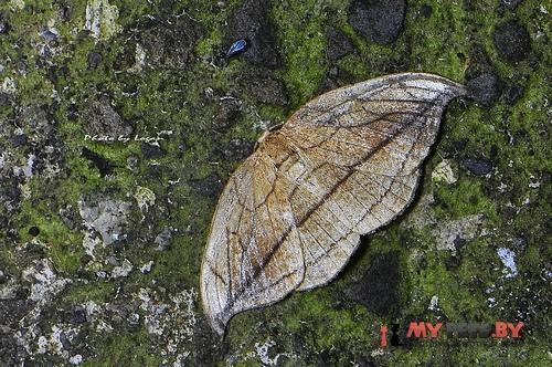 Microblepsis manleyi