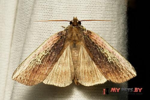Tethea consimilis