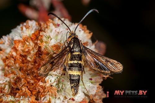 Synanthedon bibionipennis