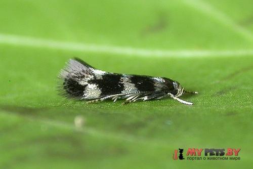 Elachista apicipunctella