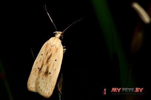 Agonopterix kaekeritziana