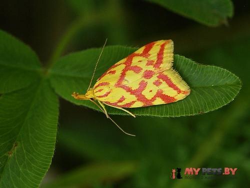Hypercallia citrinalis