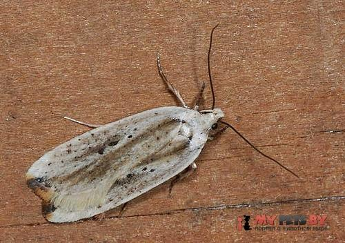 Agonopterix intersecta