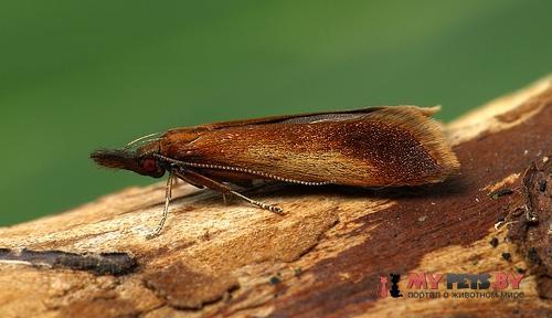 Dichomeris ustalella