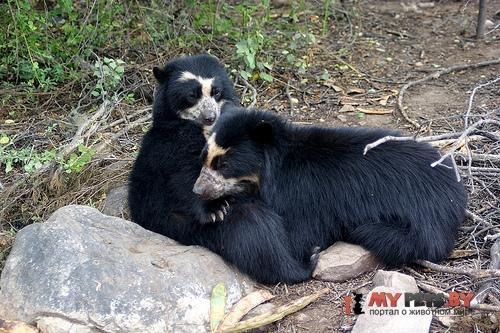 медведь очковый