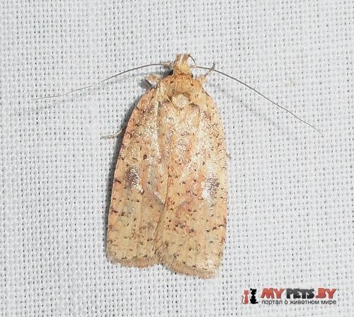 Agonopterix flavicomella
