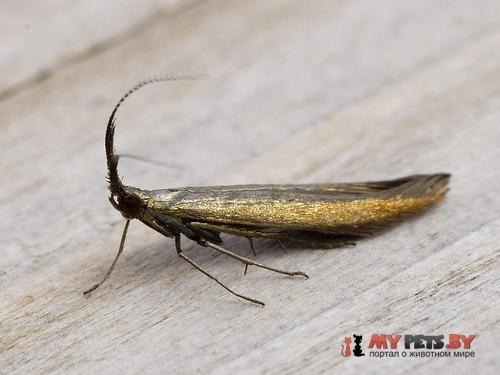 Coleophora mayrella