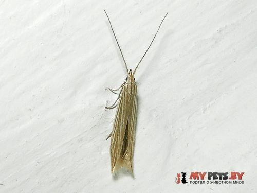 Coleophora therinella