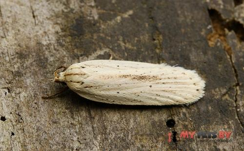 Agonopterix pallorella
