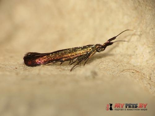 Coleophora deauratella