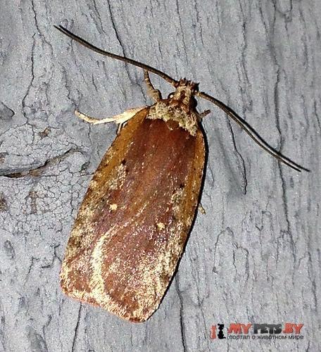 Agonopterix lythrella