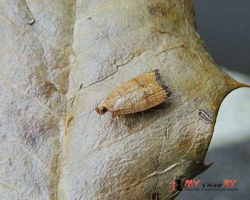Psilocorsis cryptolechiella