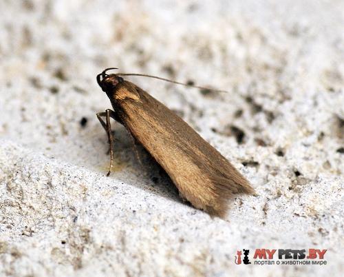 Eulamprotes unicolorella