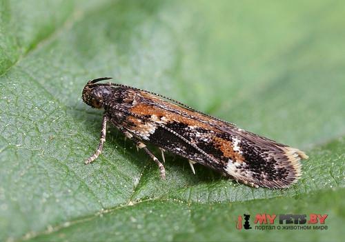 Caryocolum tricolorella