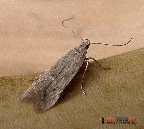 Monochroa arundinetella