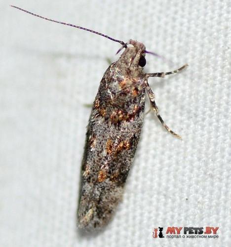 Neotelphusa sequax