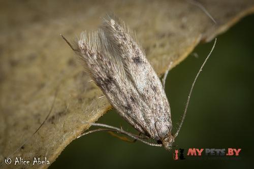 Borkhausenia nefrax