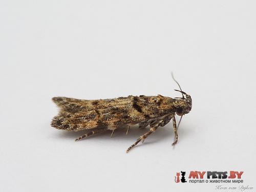 Carpatolechia fugacella