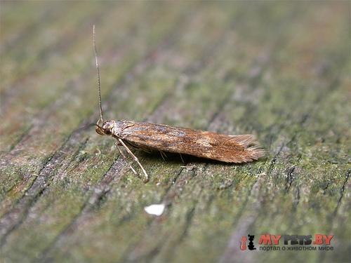 Monochroa lucidella