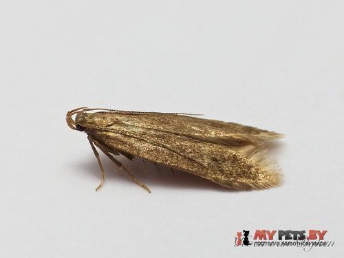 Monochroa lutulentella