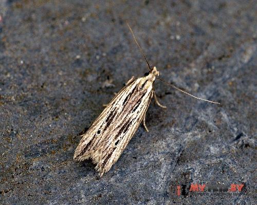 Monochroa palustrellus
