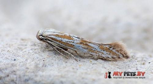 Ptocheuusa paupella