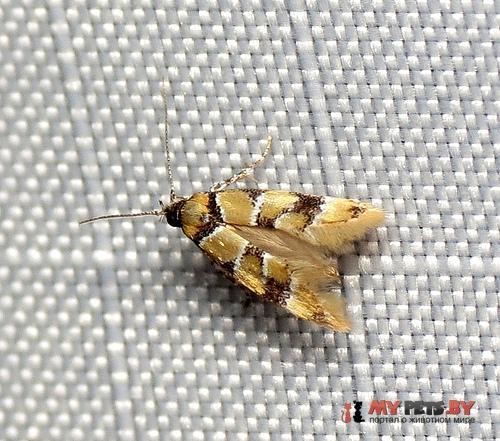 Decantha boreasella