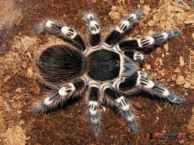 Acanthoscurria_geniculata028