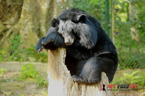 Черный азиатский медведь