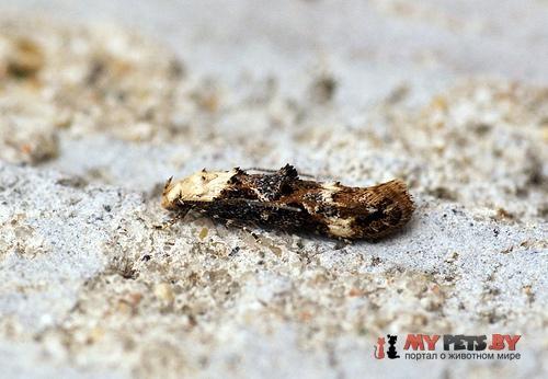 Mompha propinquella