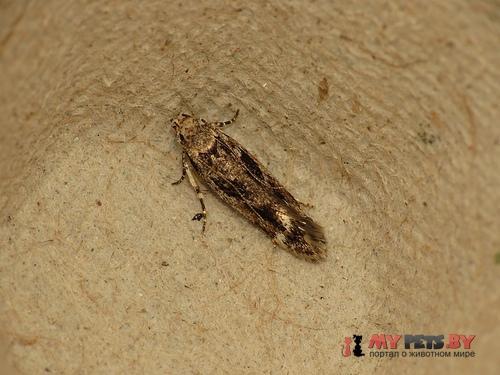 Caryocolum fischerella