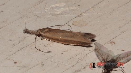 Pleurota marginella