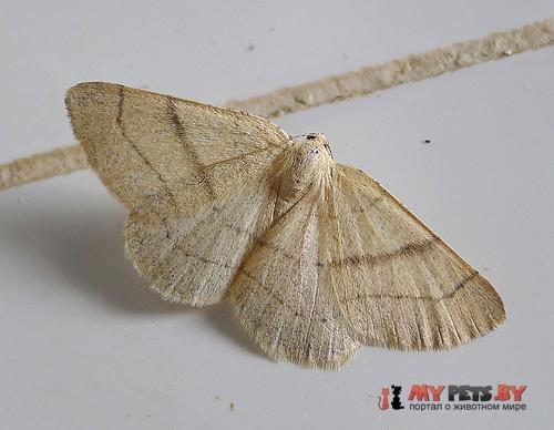 Adactylotis gesticularia