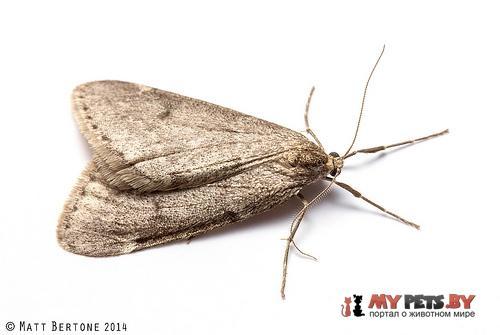 Alsophila pometaria